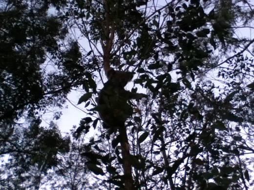 koala by the lake