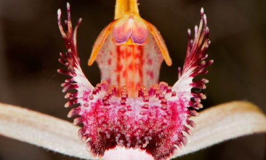 Western-Australia-Spider-Orchid